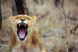 africa-anger-animal-55814